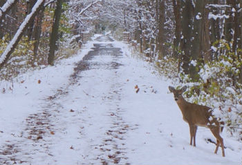 car deer accidents