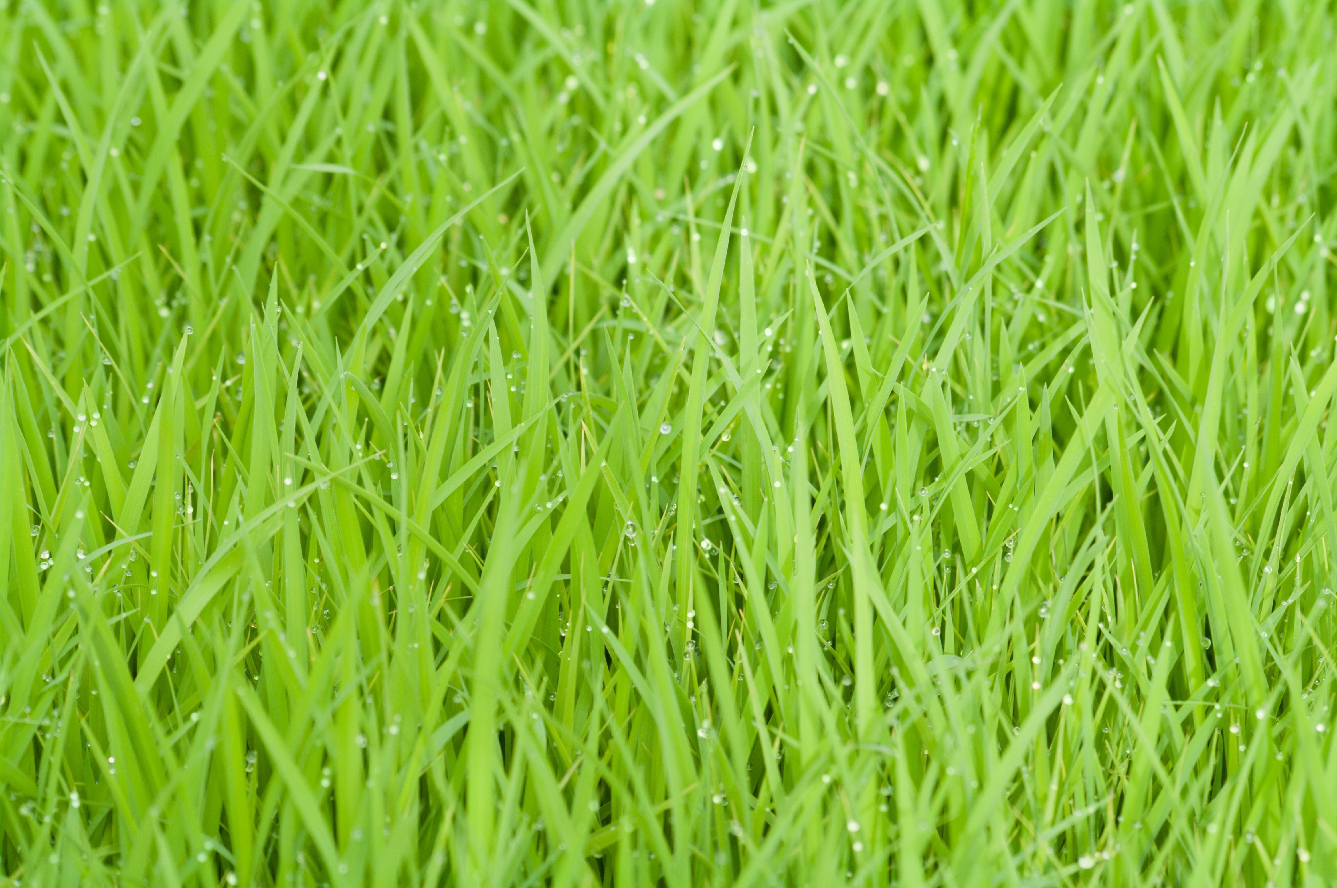 rice-field-green-grass-nature-53615.jpeg